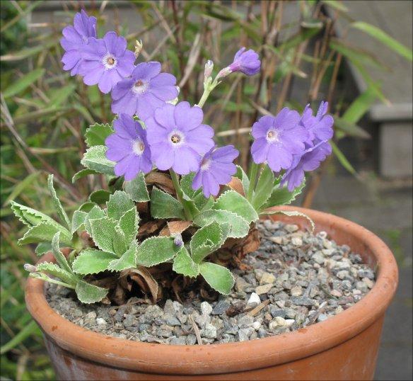 P marginata 'Herb Dickson'