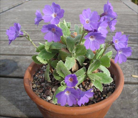 p-marginata-herb dickson2