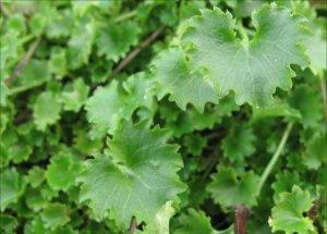 C.portenshlagiana-leaf detail