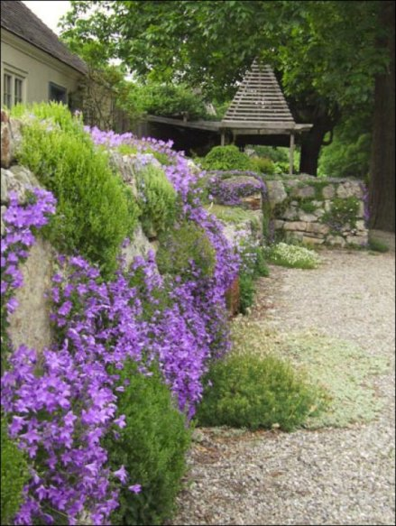 Campanula portenshlagiana at Stonecrop Gardens in near Cold Springs, N.Y.