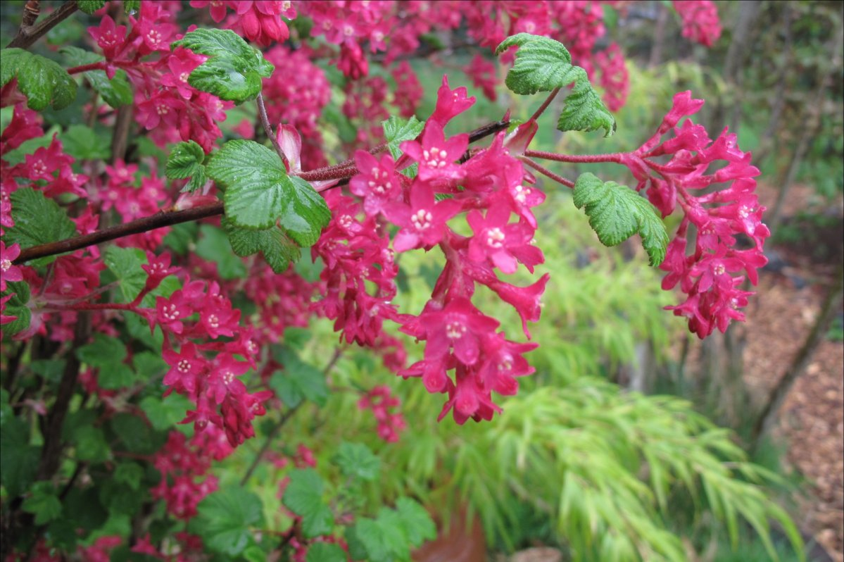 Red Flowering Currant Pacific Northwest Specialty Plants