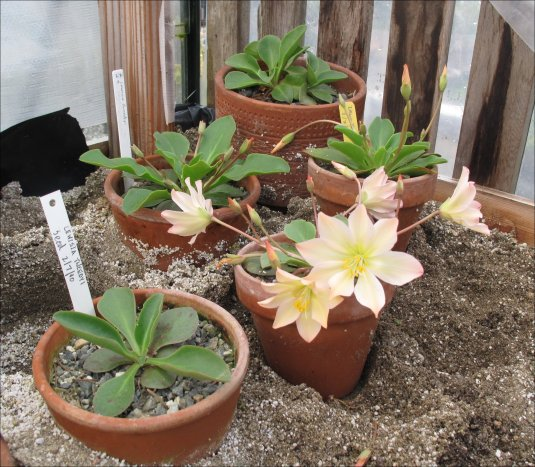 Lewisias -on-bench