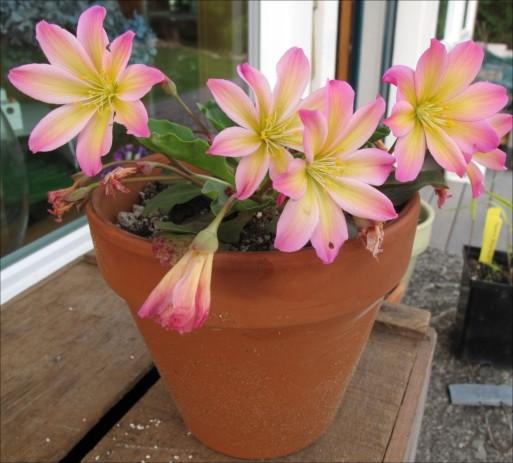 Lewisia tweedyi 'rosea from Fringe Nursery in Seattle