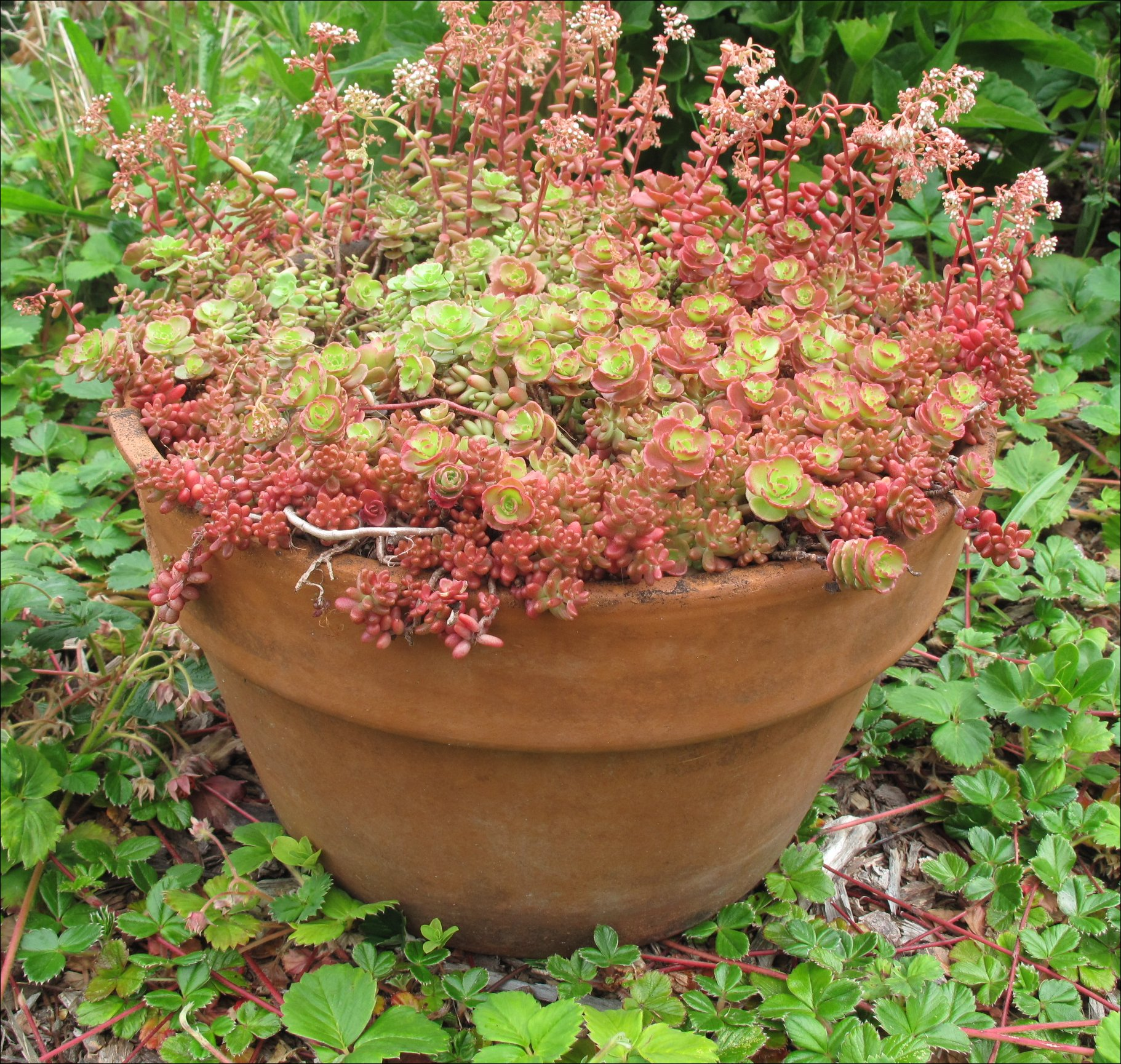 Sedum album murale Pacific Northwest