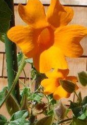 Thunbergia gregorii - Orange Clock Vine - Hardy to USDA Zone 9