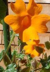 Thunbergia gregorii - Orange Clock Vine - Hardy to USDA Zone 9