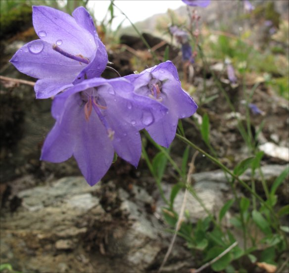 Campanula rotundifolio (Common harebell, Scotch bluebell)