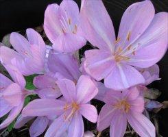 Colchicum autumnale cultivar