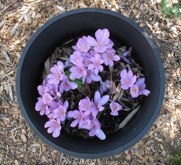 colchicum autumnale plastic pot