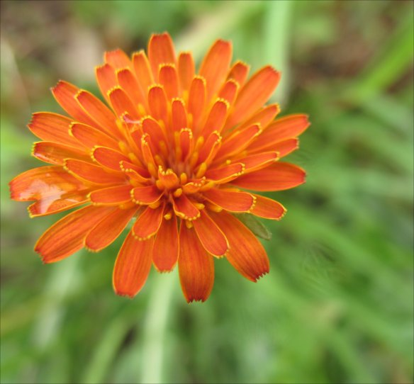 Flower Head of Orange Agoseris (Agoseris aurantiaca)