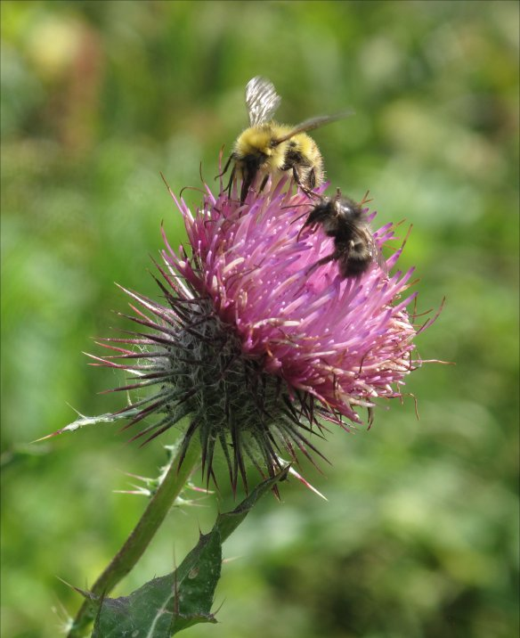 two bees on Indian thistle