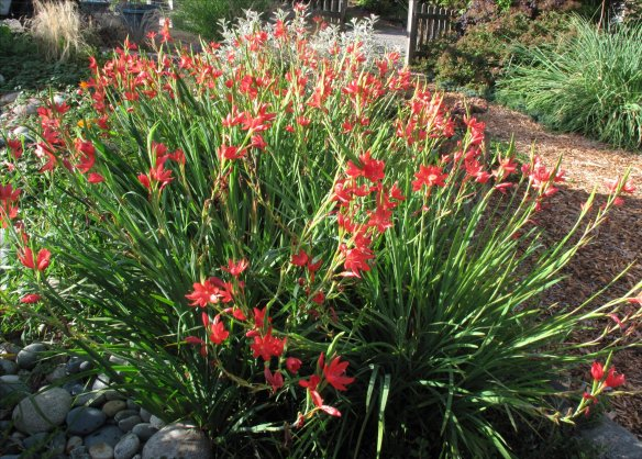 Hesperantha coccinea-Oregon Sunset Clump