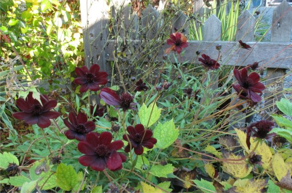 Chocolate Cosmos in a Pot