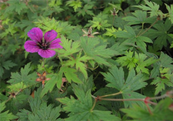 Single hardy Geranium bloom holding on into fall