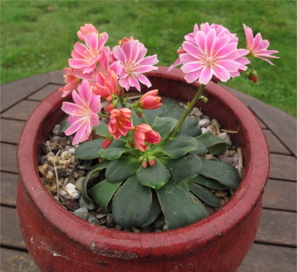 Lewisia cotyledon blooming on October 19th