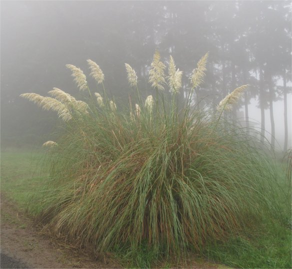 Pampas grass against a background of Douglas Fir