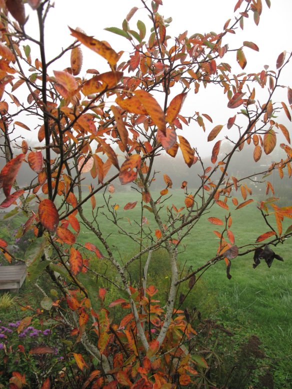 Amelanchier × grandiflora 'Autumn Brilliance'