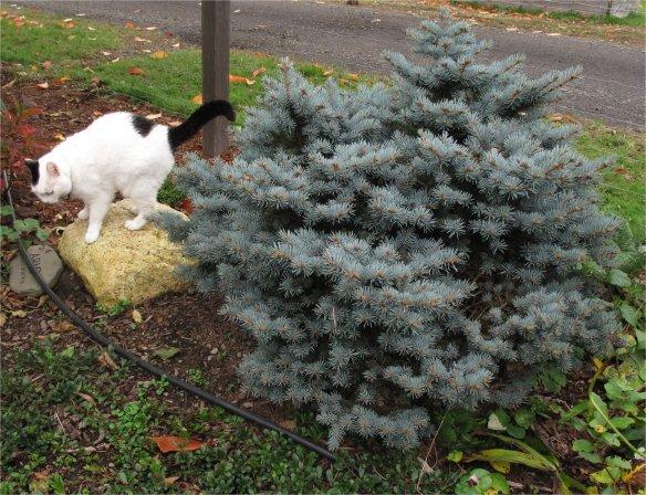Picea pungens 'Montgomery' Clorado dwarf Blue Spruce