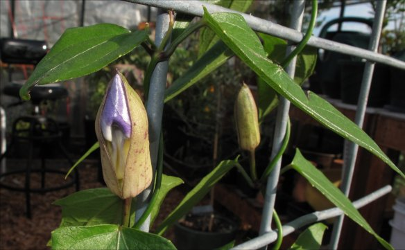 T. grandiflora bud getting ready to open