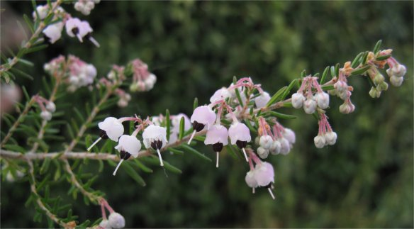Erica canaliculata