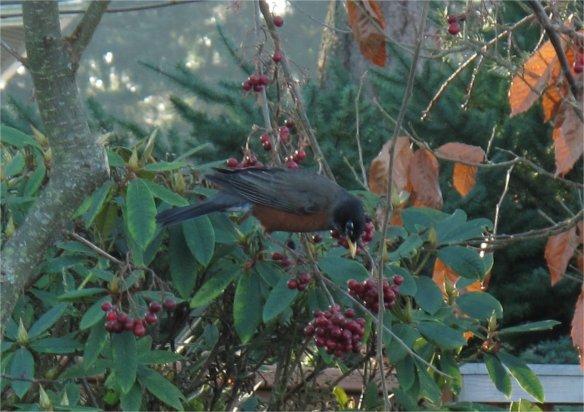 catoneaster lacteus birds1