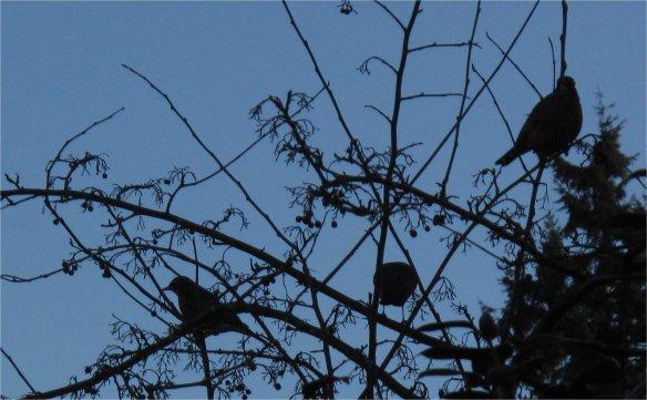 catoneaster lacteus birds2