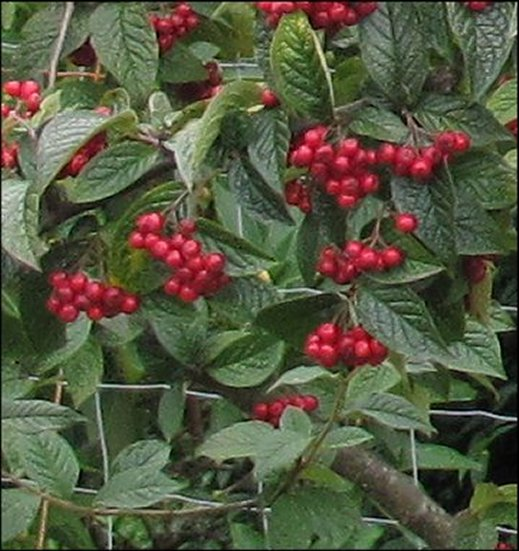 cotoneaster-even-closer