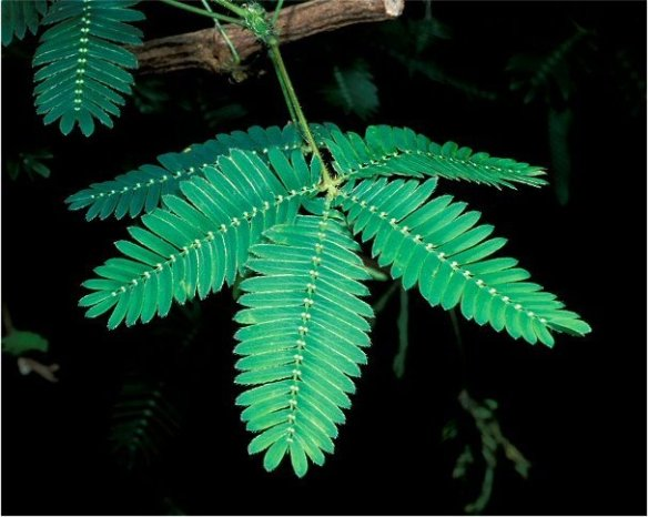 Mimosa pudica leaves open