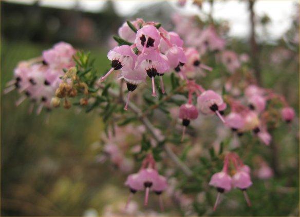 erica caniculata1