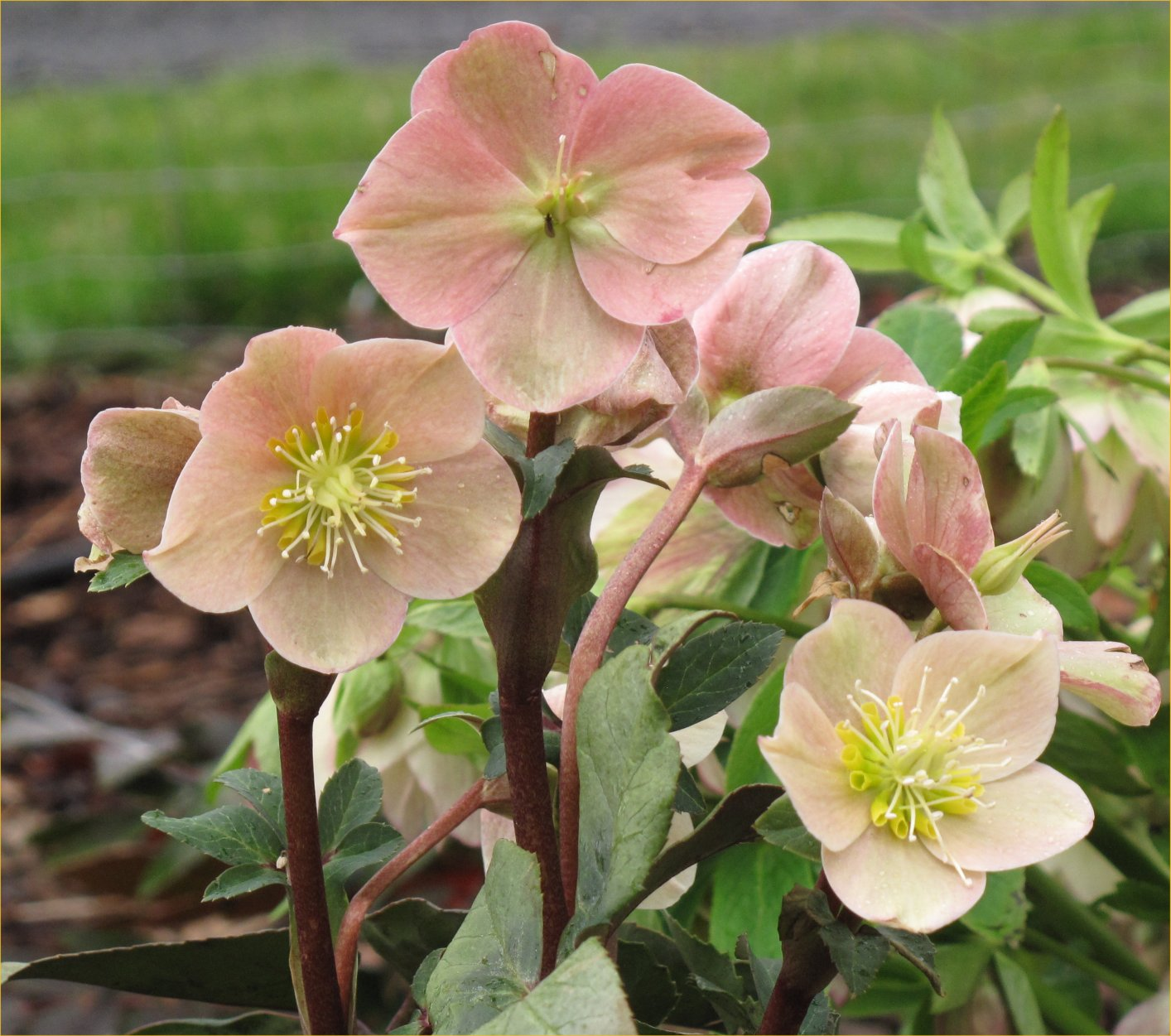 Newer Hellebores Showing Up In The Nursery Trade Continue Ascending