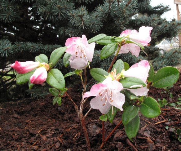 Rhododendron clipenenses planted