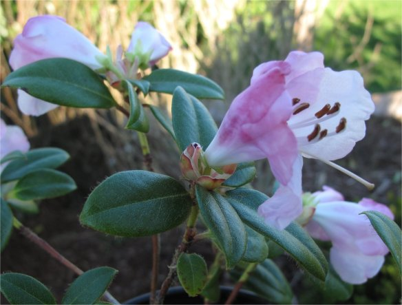 Rhododendron clipenenses1 - medium size