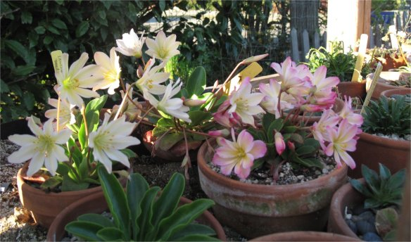 Lewisia Cultivation1
