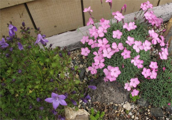 Dianthus -Campanula Trough