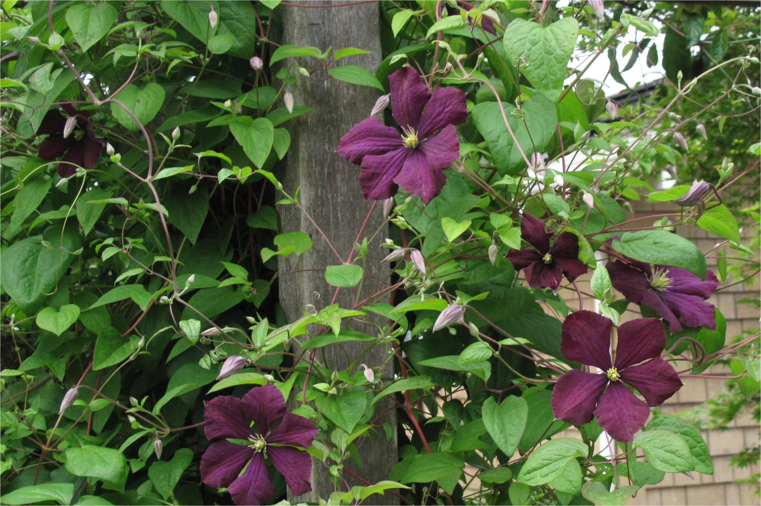 clematis jackmanii rain garden arts. Black Bedroom Furniture Sets. Home Design Ideas