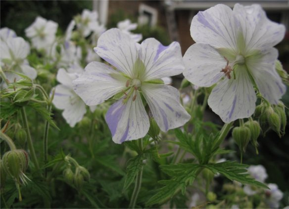 Variegated Hardy Geranium unknown cultivar