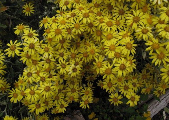 Senecio greyii blooms en masse