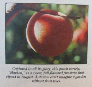 Harken peach