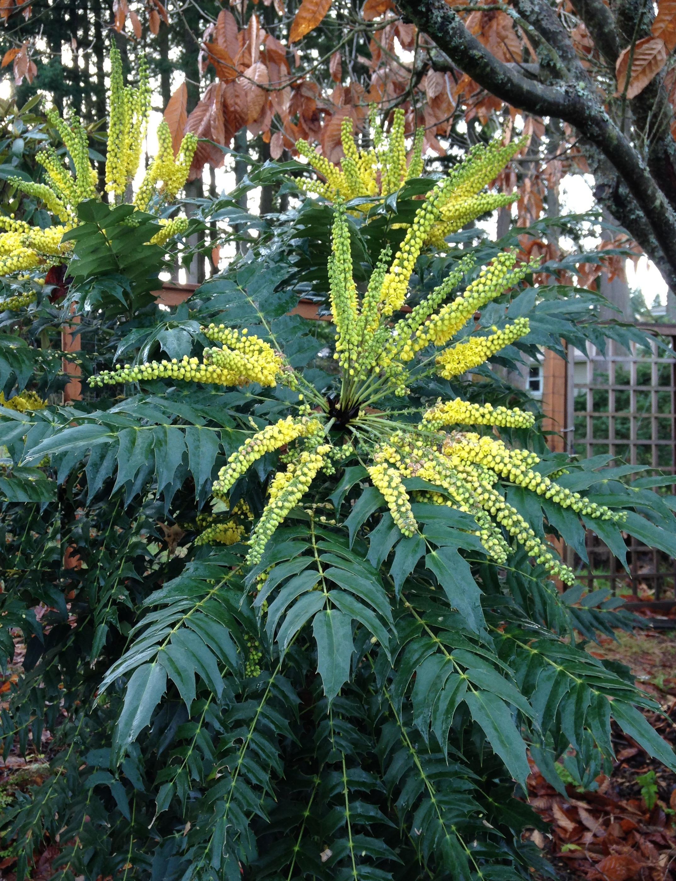 Mahonia X Media Charity Pacific Northwest Specialty Plants