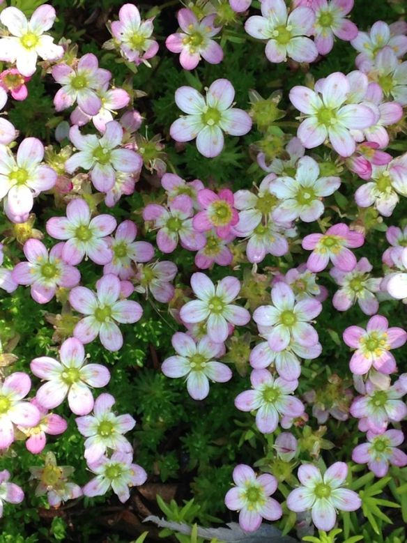 Tight shot of Saxifrage flowers