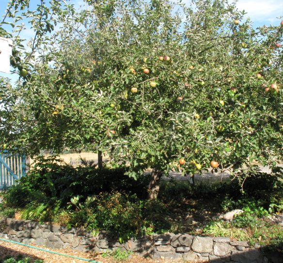 Our old apple tree is laden with fruit this year