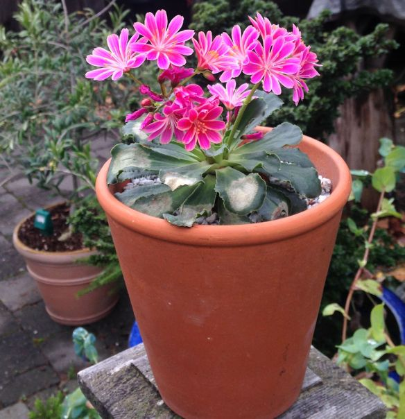 Lewisia late bloomer