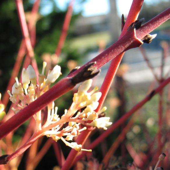 New buds on branch of red twig dogwood cultivar, Jan, 2015