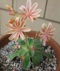 First of my 50 Lewisia cotyledon crosses to bloom.