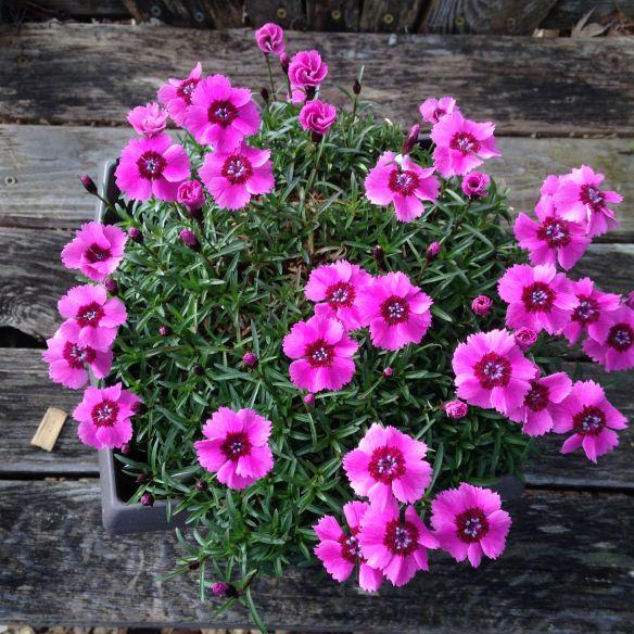 alpine dianthus