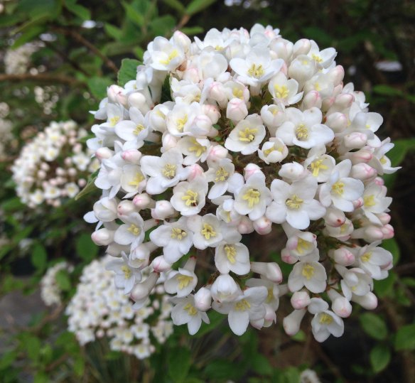 korean-spice viburnum