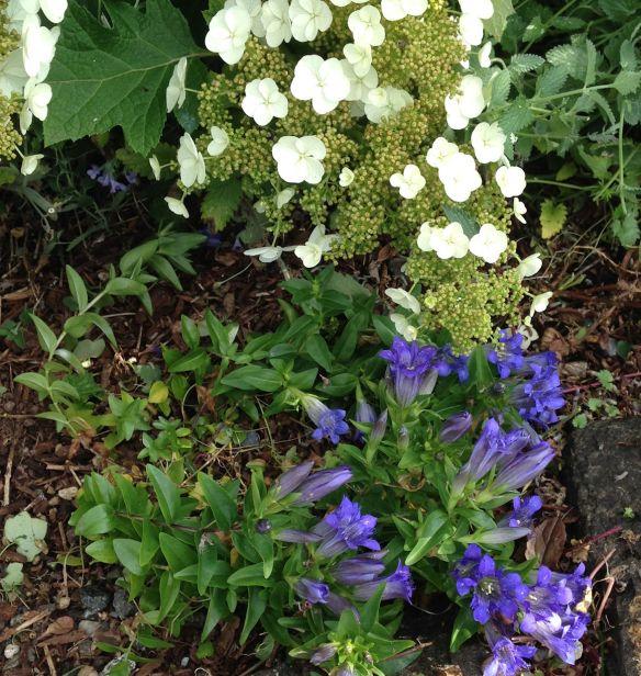 gentian-hydrangea